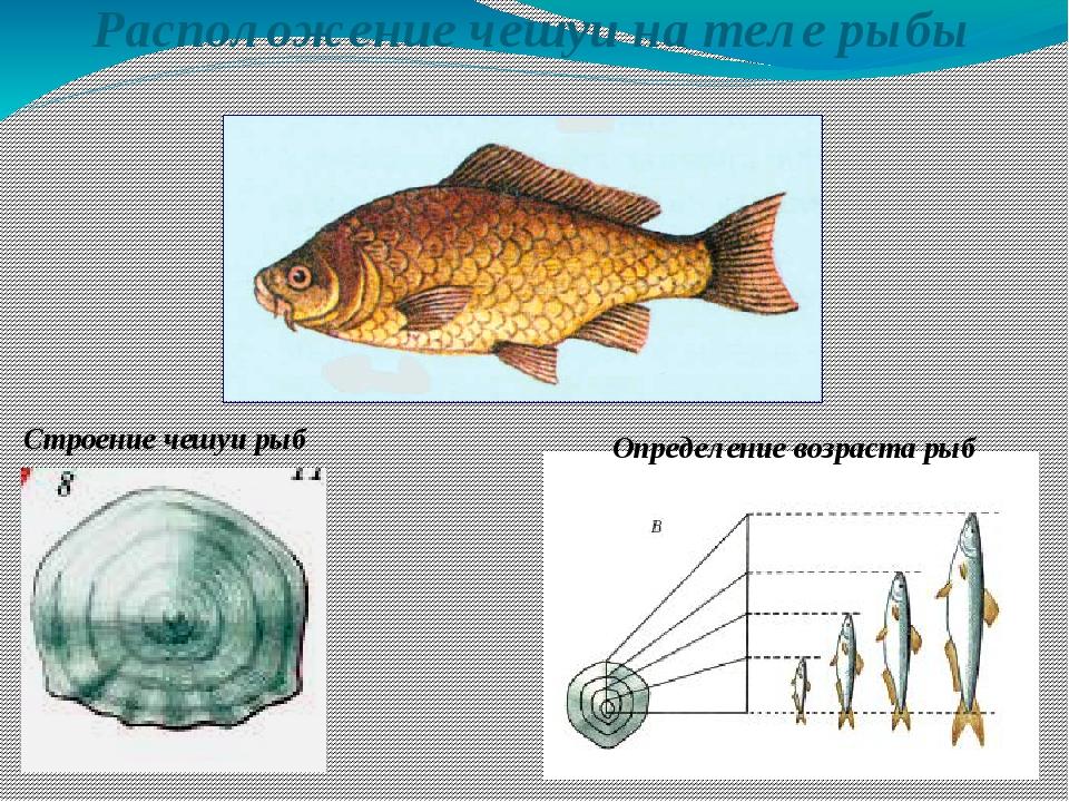 Расположение чешуи на теле рыбы Строение чешуи рыб Определение возраста рыб