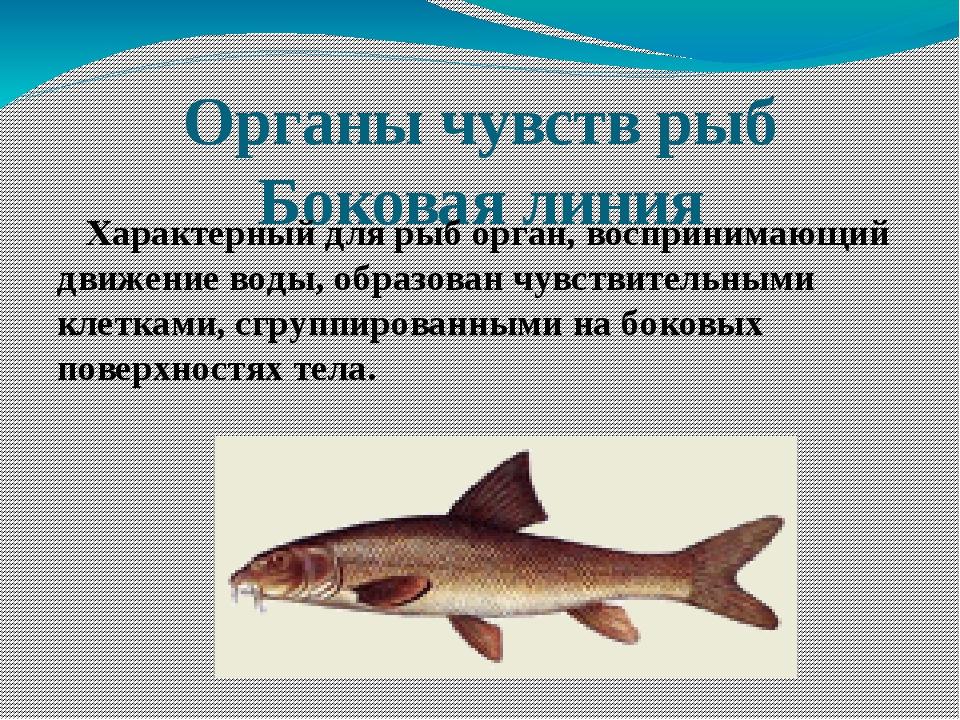 Органы чувств рыб Боковая линия Характерный для рыб орган, воспринимающий дви...