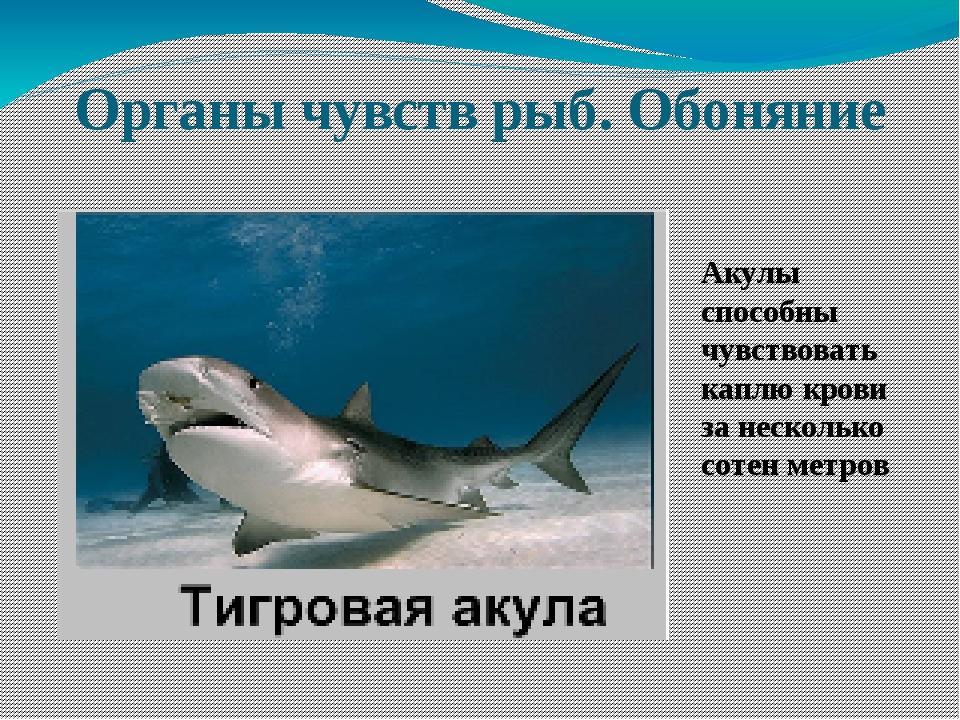 Органы чувств рыб. Обоняние Акулы способны чувствовать каплю крови за несколь...