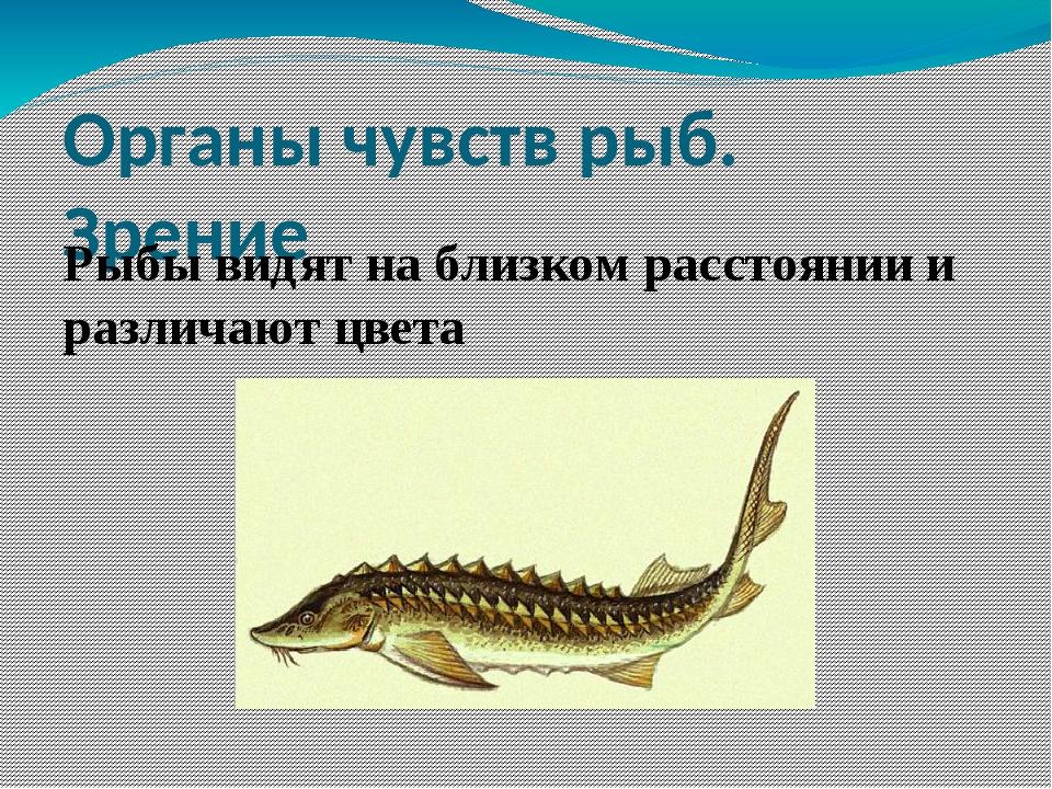 Органы чувств рыб. Зрение Рыбы видят на близком расстоянии и различают цвета