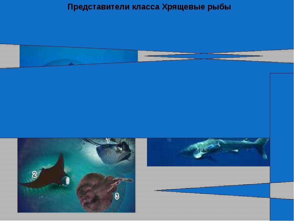 АКУЛЫ СКАТЫ Представители класса Хрящевые рыбы