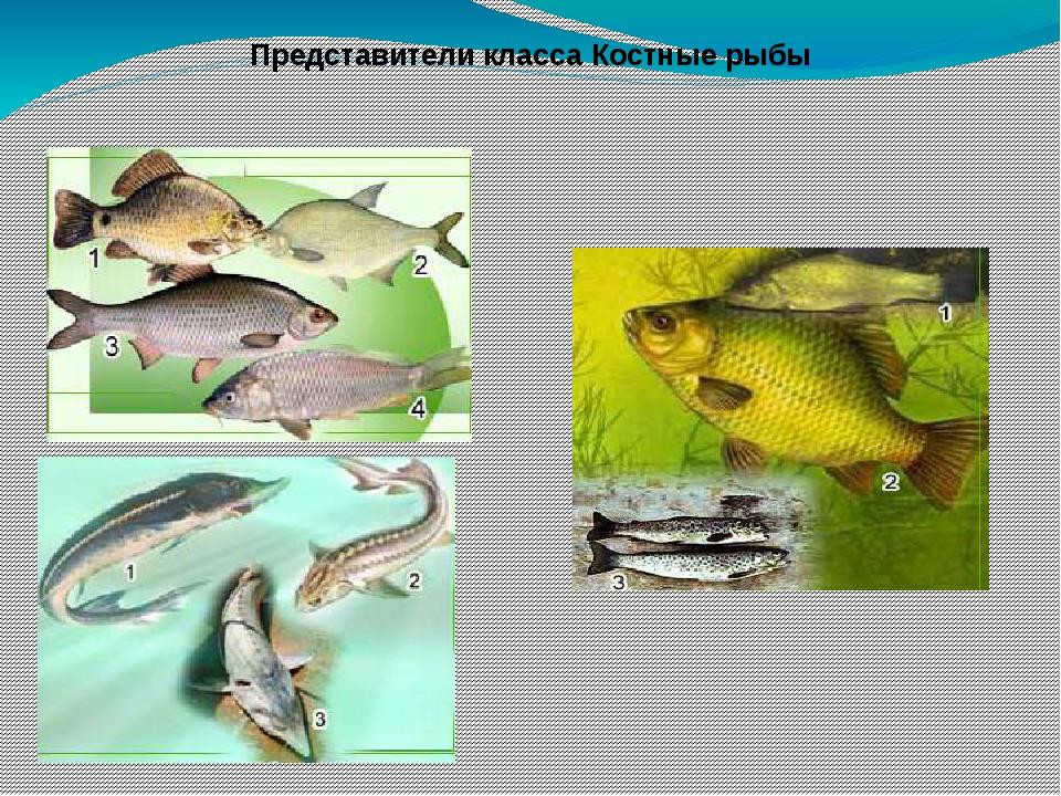 Представители класса Костные рыбы