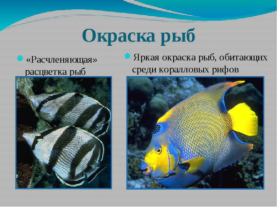 Окраска рыб «Расчленяющая» расцветка рыб Яркая окраска рыб, обитающих среди к...