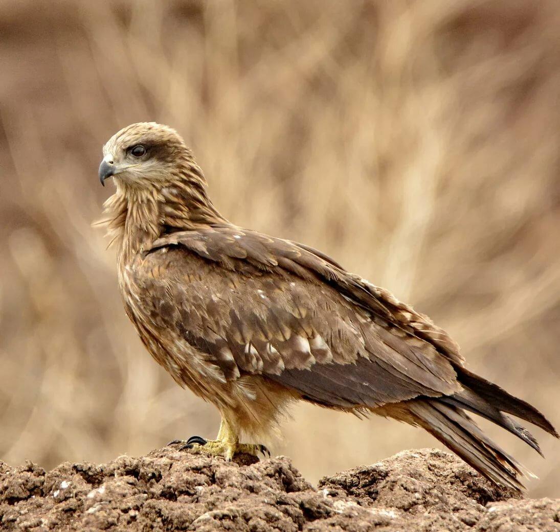 это хищные птицы воронежской области фото с названиями время, как