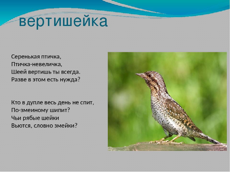 вертишейка Серенькая птичка, Птичка-невеличка, Шеей вертишь ты всегда. Разве...