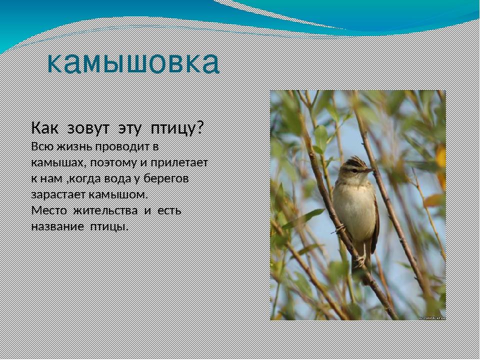 камышовка Как зовут эту птицу? Всю жизнь проводит в камышах, поэтому и прилет...