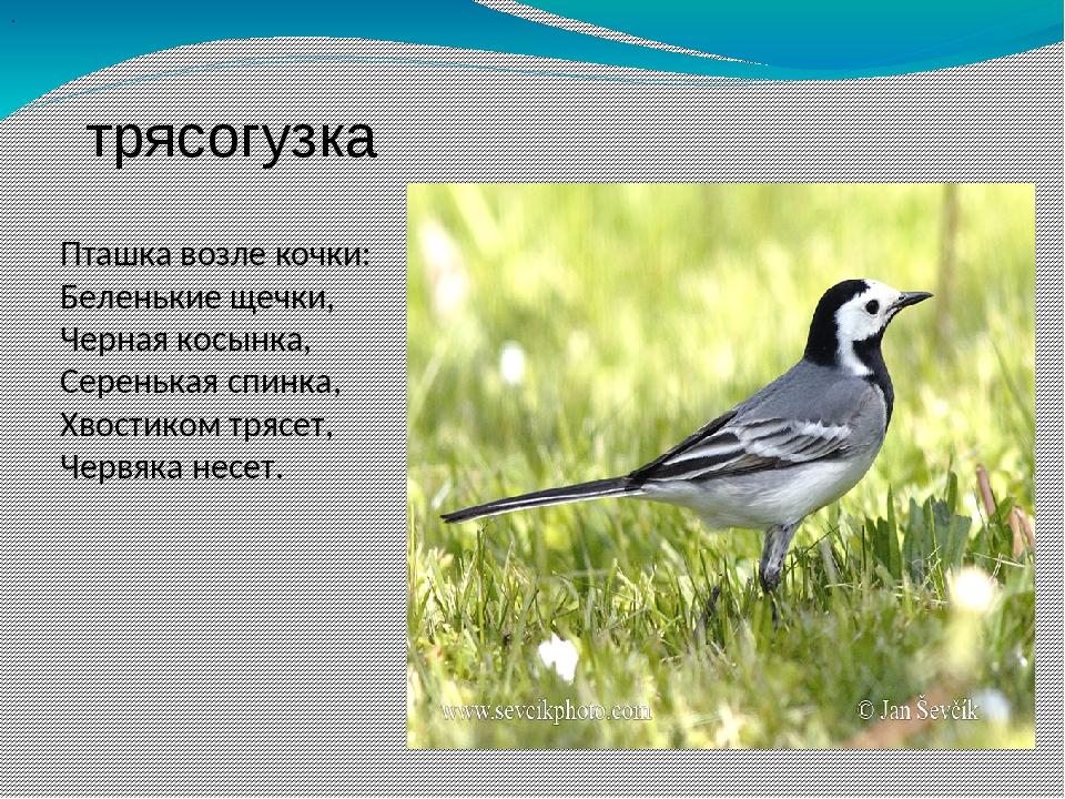 . трясогузка Пташка возле кочки: Беленькие щечки, Черная косынка, Серенькая...