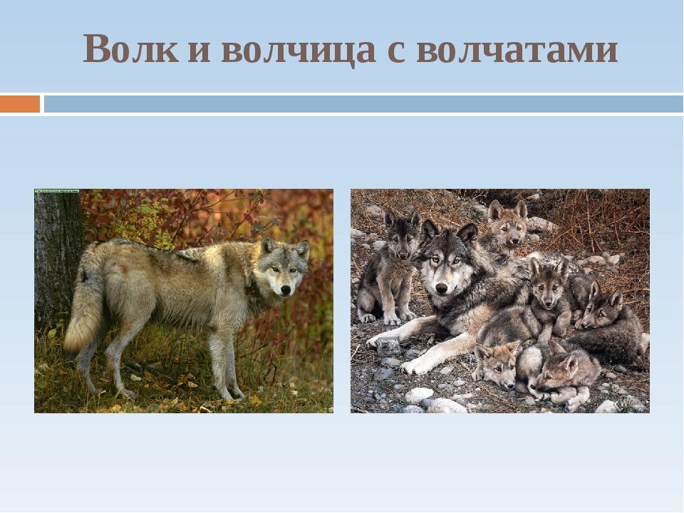 Волк и волчица с волчатами