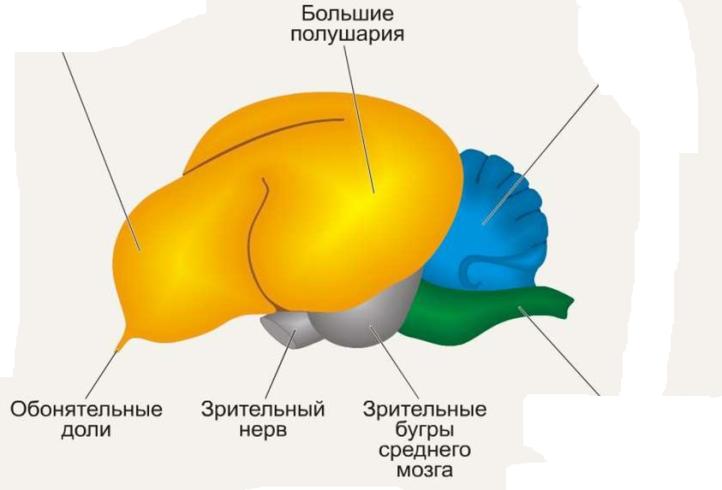 женщина картинка мозга птиц времени живут