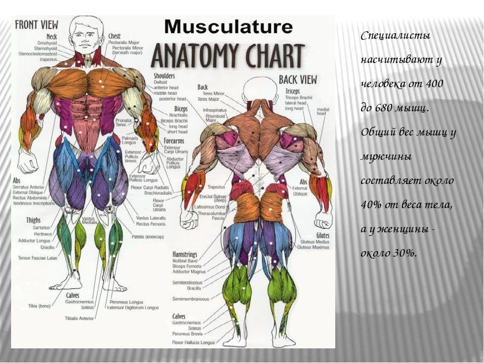 Специалисты насчитывают у человека от 400 до 680 мышц. Общий вес мышц у мужчи...