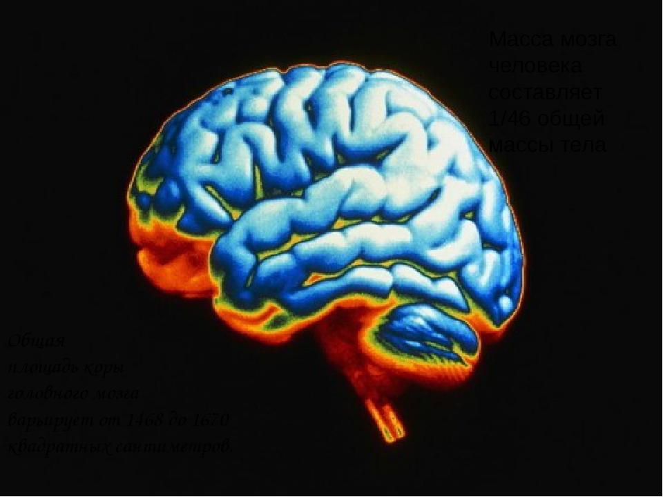 Общая площадь коры головного мозга варьирует от 1468 до 1670 квадратных санти...