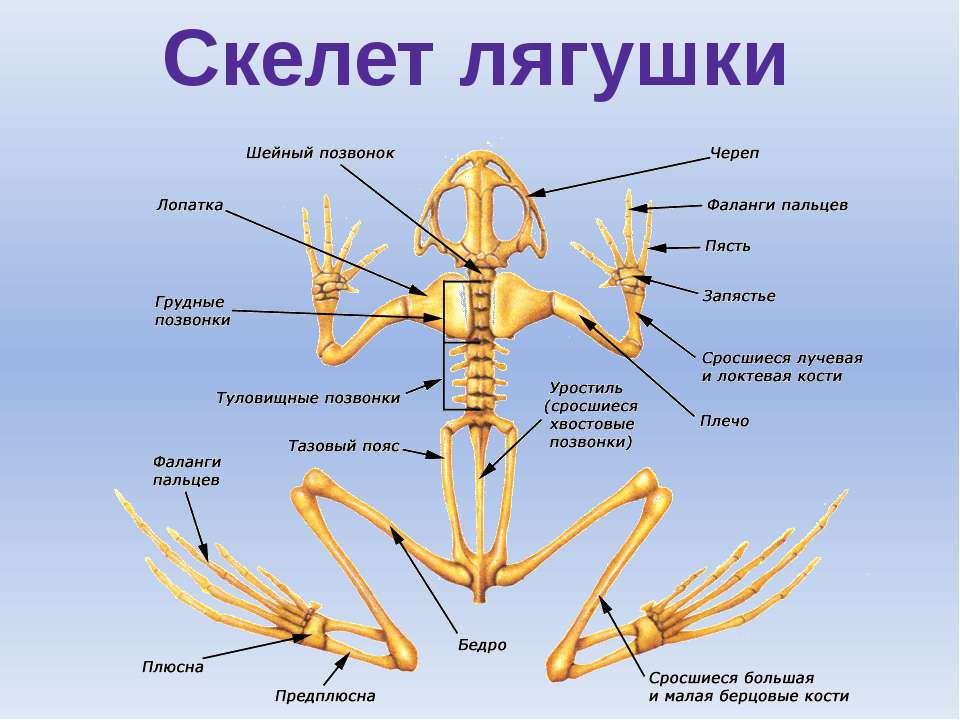 оправдал строение лягушки картинки скелет всегда меня манила