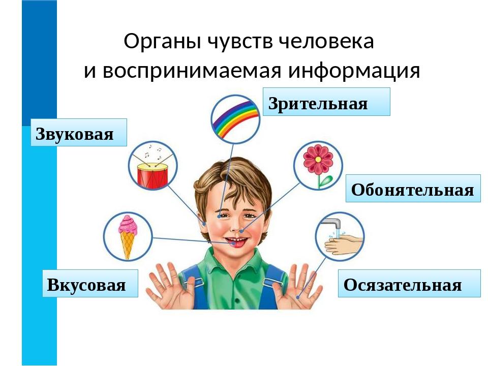 Органы чувств человека и воспринимаемая информация Зрительная Звуковая Вкусов...