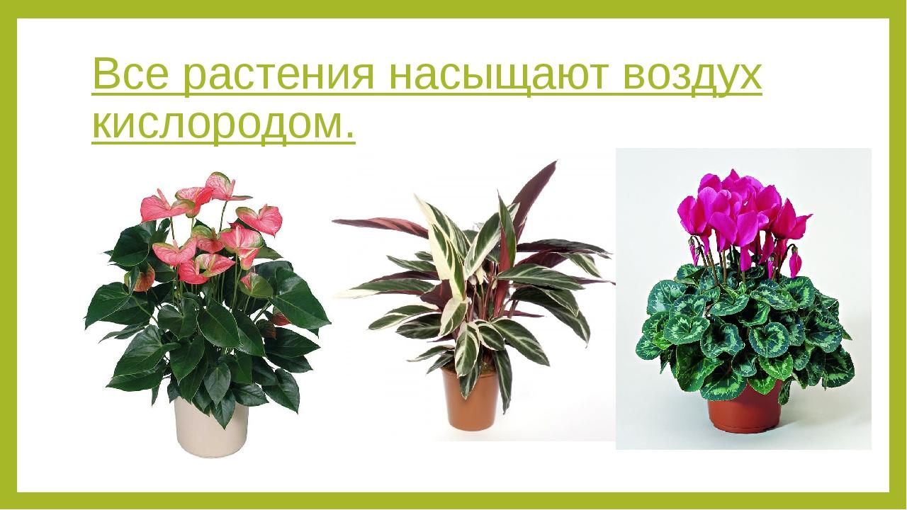 Все растения насыщают воздух кислородом.