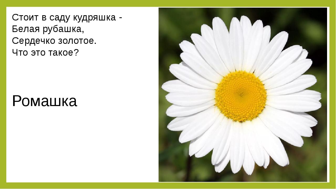 Стоит в саду кудряшка - Белая рубашка, Сердечко золотое. Что это такое? Ромашка