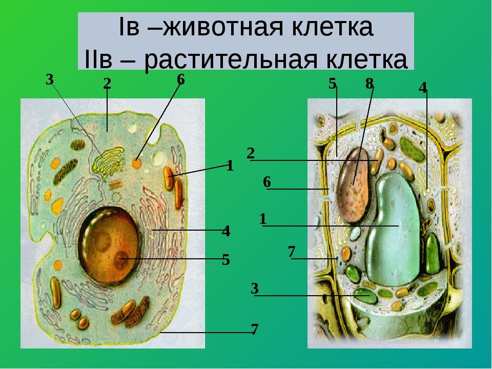 Iв –животная клетка IIв – растительная клетка 1 2 3 4 5 6 7 8 1 2 3 4 5 6 7