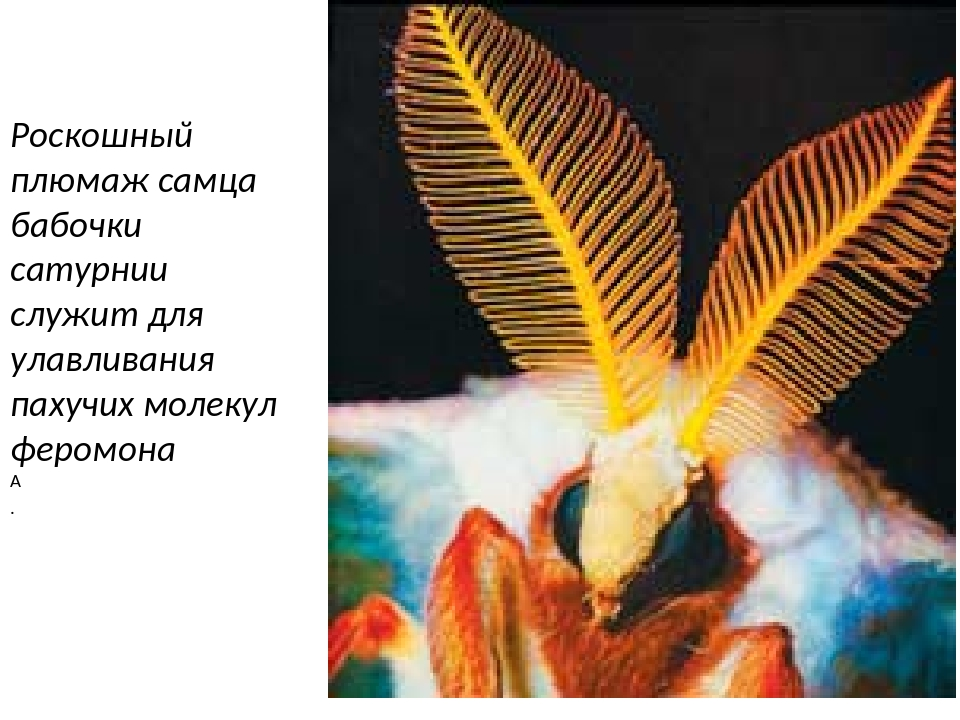 Роскошный плюмаж самца бабочки сатурнии служит для улавливания пахучих молеку...