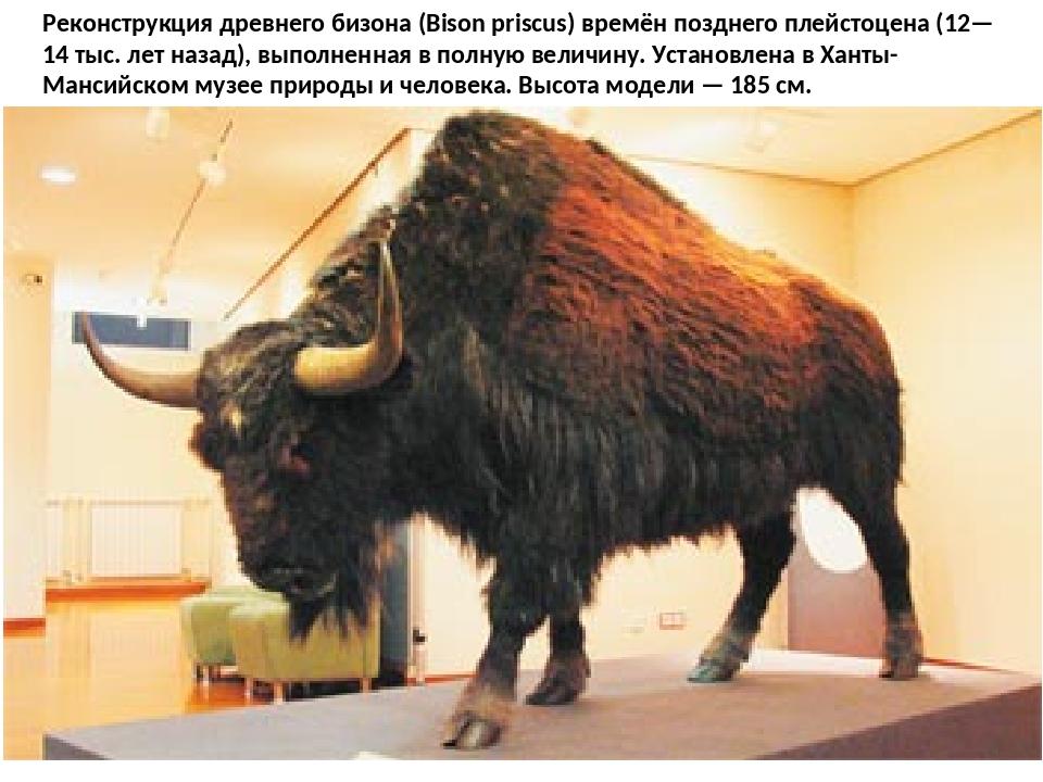 Реконструкция древнего бизона (Bison priscus) времён позднего плейстоцена (12...