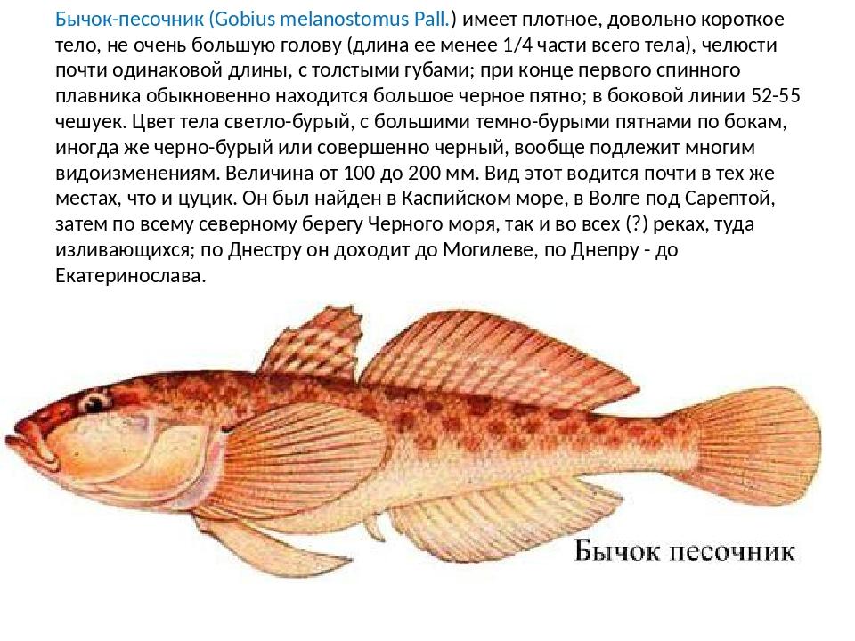 Бычок-песочник (Gobius melanostomus Pall.) имеет плотное, довольно короткое т...