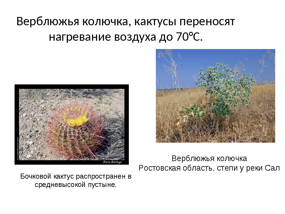 Верблюжья колючка, кактусы переносят нагревание воздуха до 70°С. Верблюжья ко...