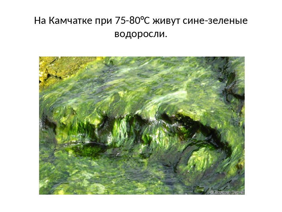 На Камчатке при 75-80°С живут сине-зеленые водоросли.