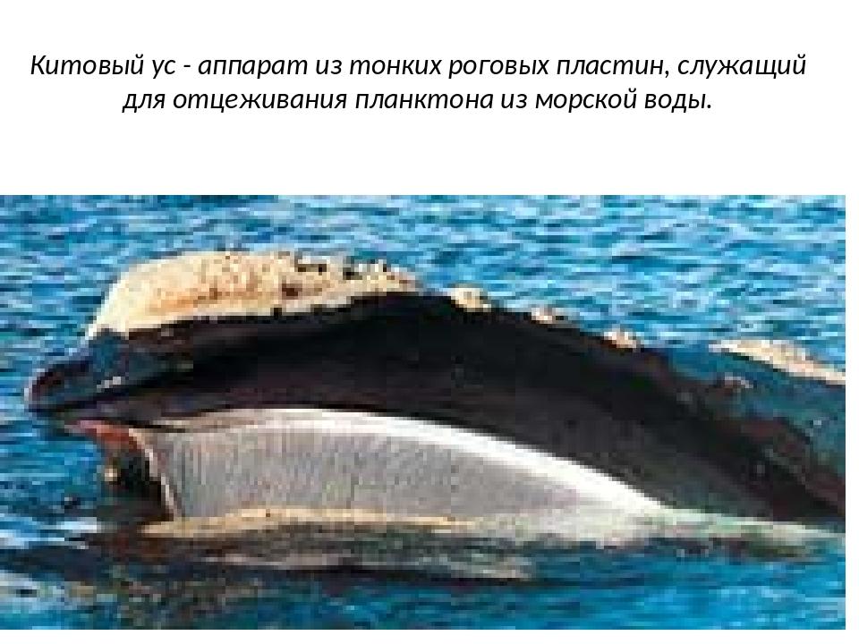 Китовый ус - аппарат из тонких роговых пластин, служащий для отцеживания план...