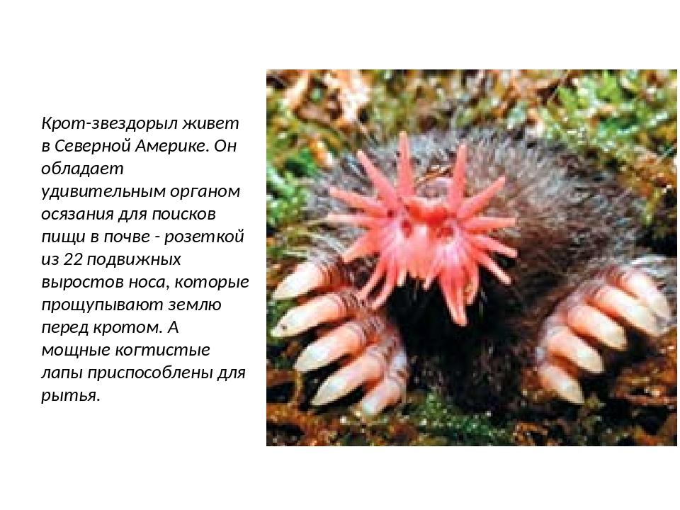 Крот-звездорыл живет в Северной Америке. Он обладает удивительным органом ося...