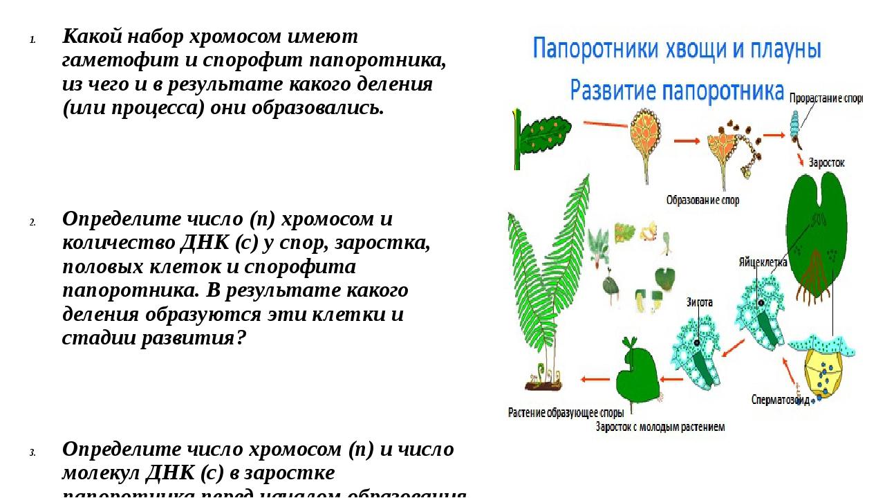 кюлоты цикл развития папоротника схема с набором хромосом парк секвойя