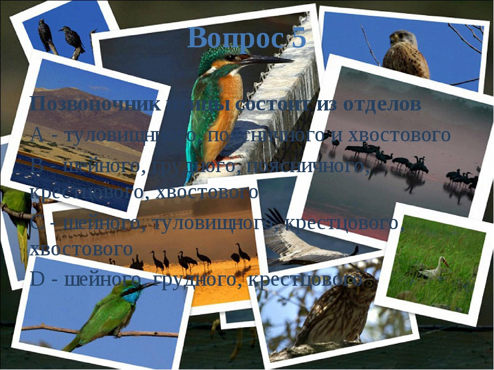 Вопрос 5 Позвоночник птицы состоит из отделов A - туловищниого, поясничного и...
