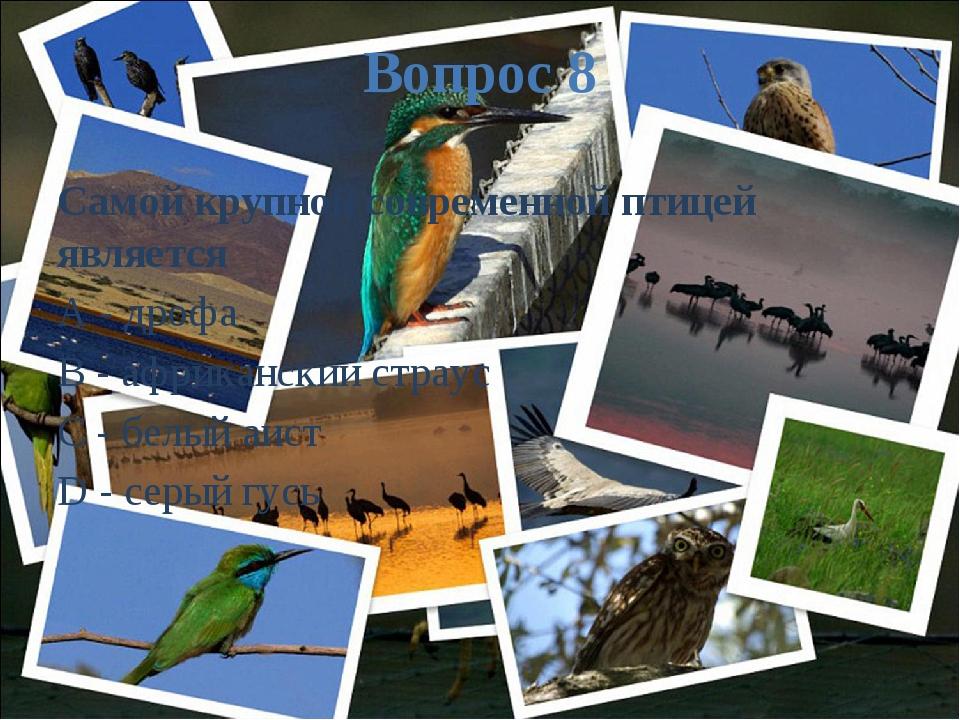 Вопрос 8 Самой крупной современной птицей является A - дрофа B - африканский...