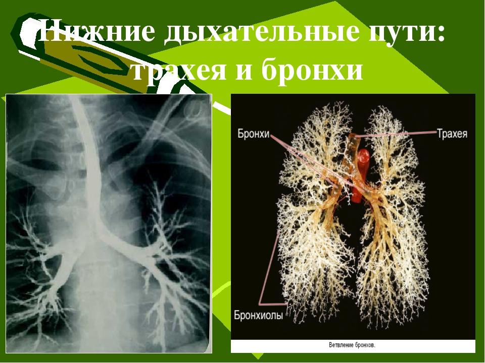 Нижние дыхательные пути: трахея и бронхи