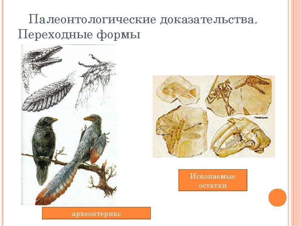 Палеонтологические доказательства. Переходные формы Ископаемые остатки архео...