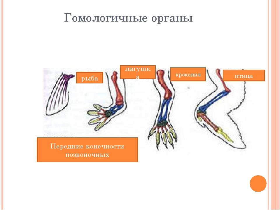 Гомологичные органы рыба лягушка крокодил птица Передние конечности позвоночных