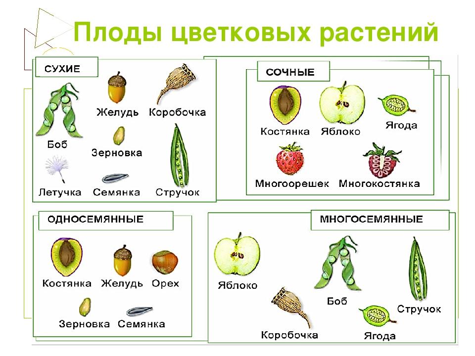 Картинка плод растений