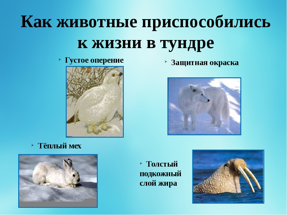 Картинки к животным живущим в тундре