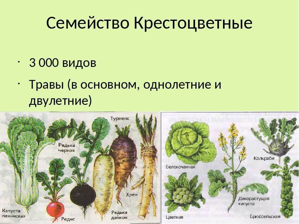 культурные растения крестоцветных картинки