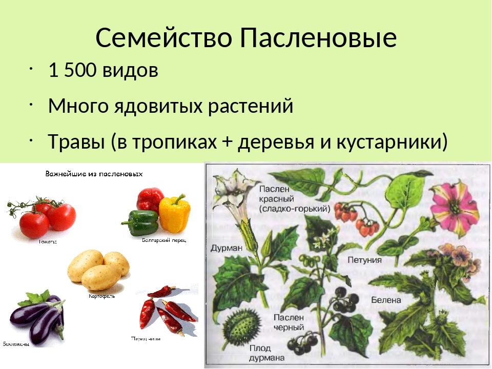 пасленовые растения все картинки сочетание классических