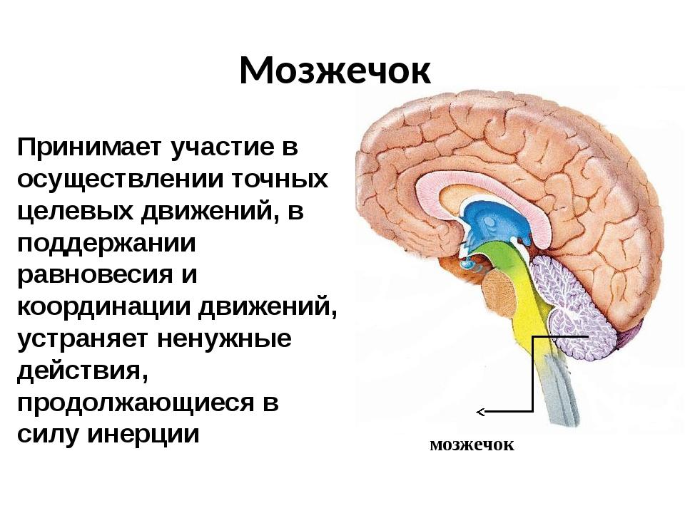 Мозжечок мозжечок Принимает участие в осуществлении точных целевых движений,...