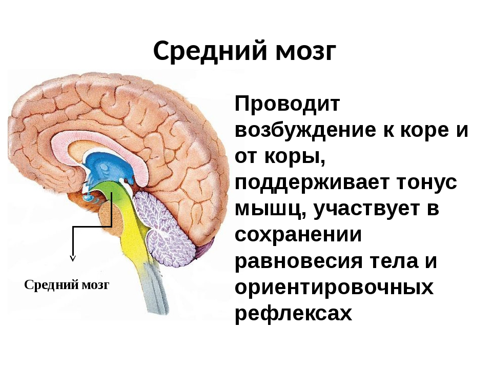 Средний мозг Средний мозг Проводит возбуждение к коре и от коры, поддерживает...