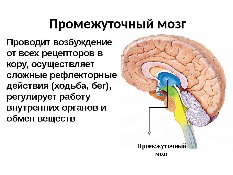 Промежуточный мозг Промежуточный мозг Проводит возбуждение от всех рецепторов...