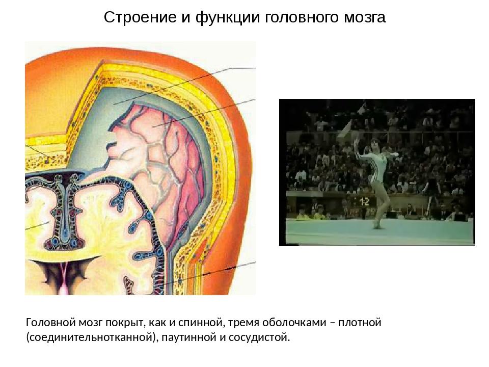 Головной мозг покрыт, как и спинной, тремя оболочками – плотной (соединительн...