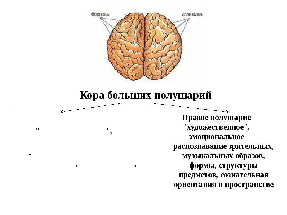 """Кора больших полушарий Левое полушарие """"мыслительное"""", логическое -регуляция..."""