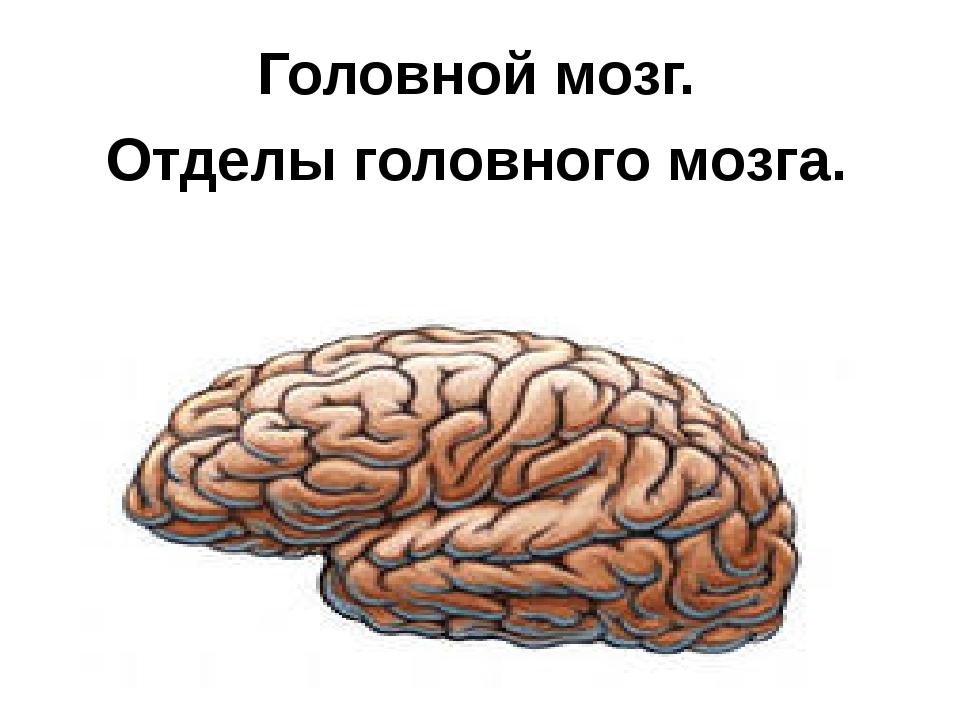 Головной мозг. Отделы головного мозга.