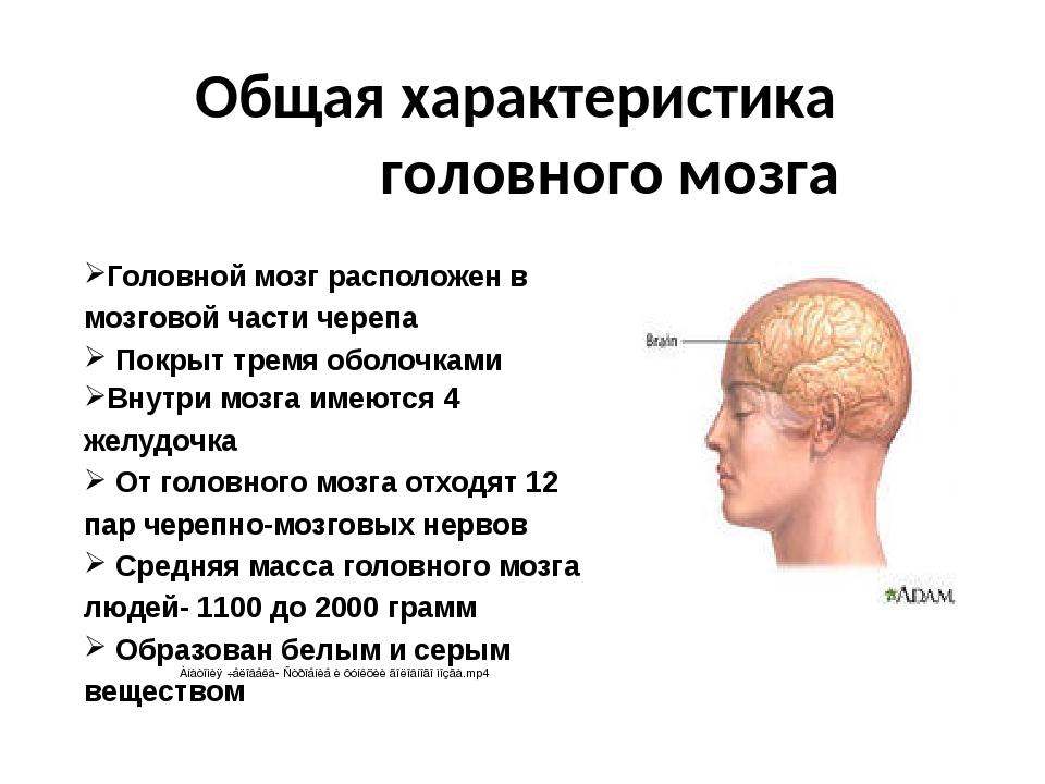 Общая характеристика головного мозга Головной мозг расположен в мозговой час...