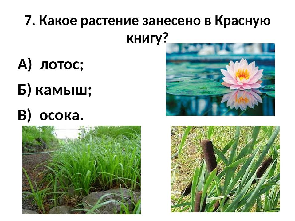7. Какое растение занесено в Красную книгу? А) лотос; Б) камыш; В) осока.