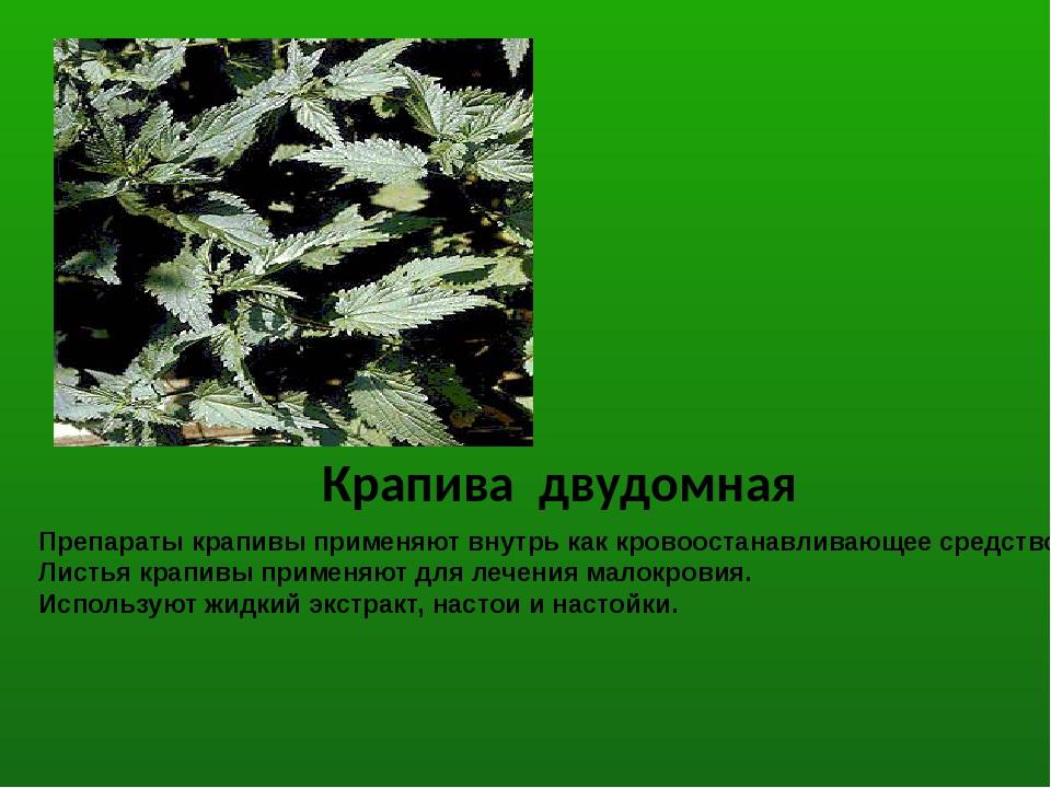 Препараты крапивы применяют внутрь как кровоостанавливающее средство. Листья...