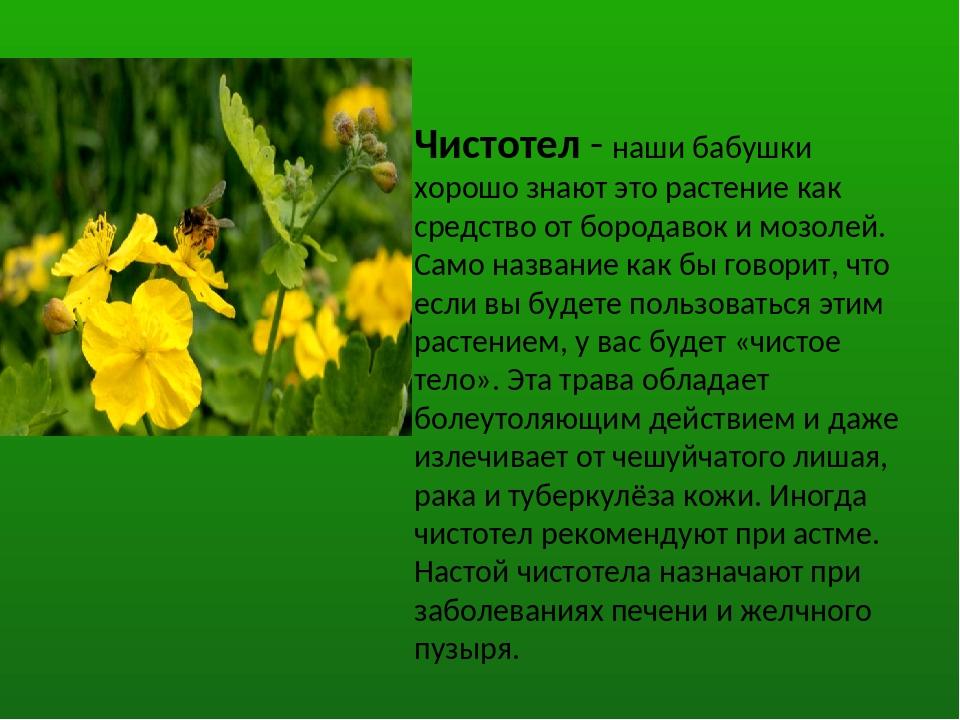 Чистотел - наши бабушки хорошо знают это растение как средство от бородавок и...