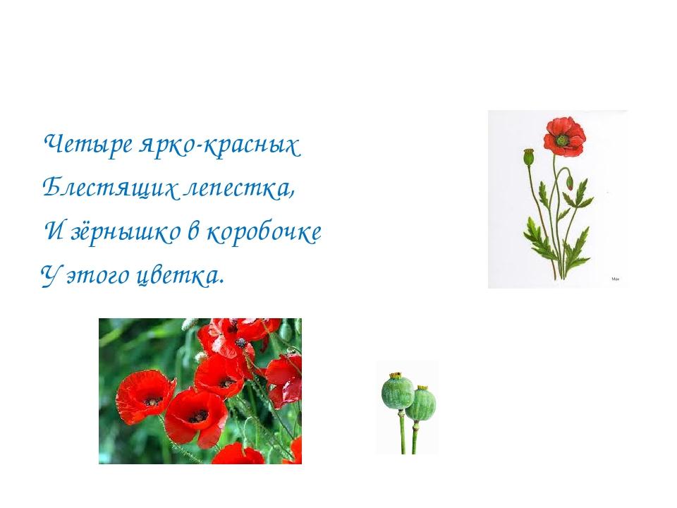 Четыре ярко-красных Блестящих лепестка, И зёрнышко в коробочке У этого цветка.