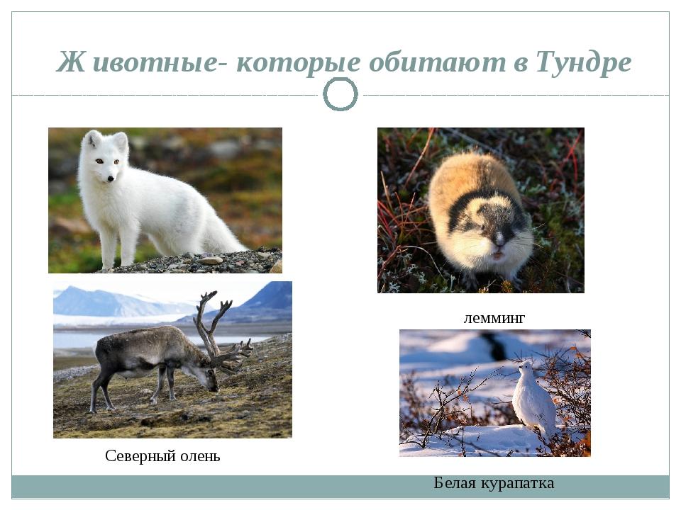 Животные- которые обитают в Тундре песец лемминг Северный олень Белая курапатка