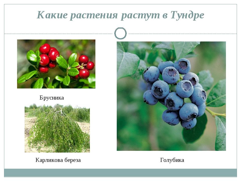 Какие растения растут в Тундре Брусника Голубика Карликова береза